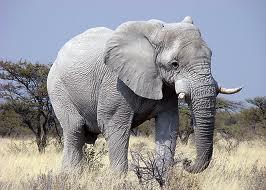 Ghostly white elephant..