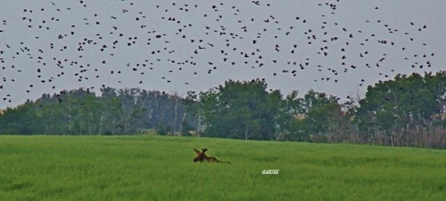 Blackbirds singing a moose duet...