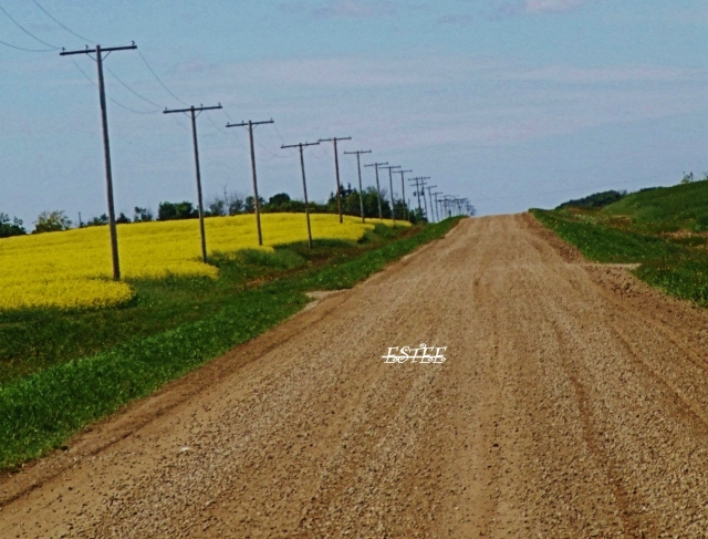 Ahhh..Canola on the south side..this road takes me home...