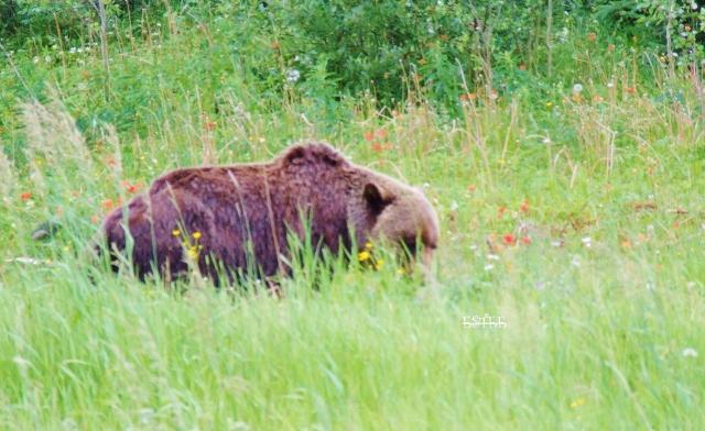 Grizzly bear in Jasper, Alberta.