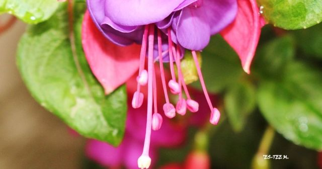 fuschia - Copy