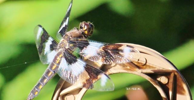 dragonfly6 - Copy