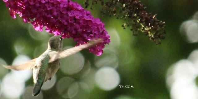 hummingbirds are free 2