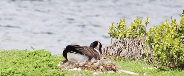 nesting Canada Goose 4