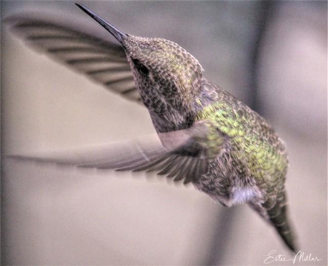 baby hummingbird 2-1