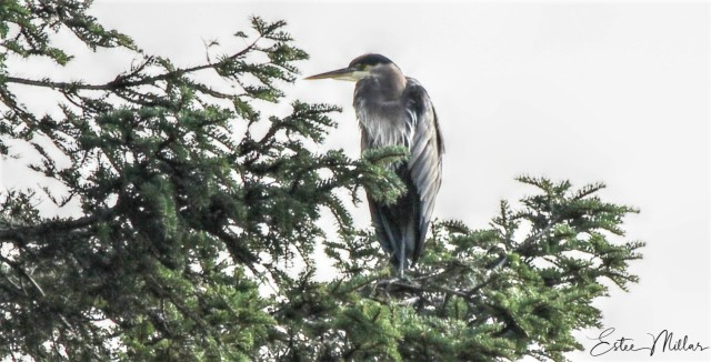 heron in the tree tops-22