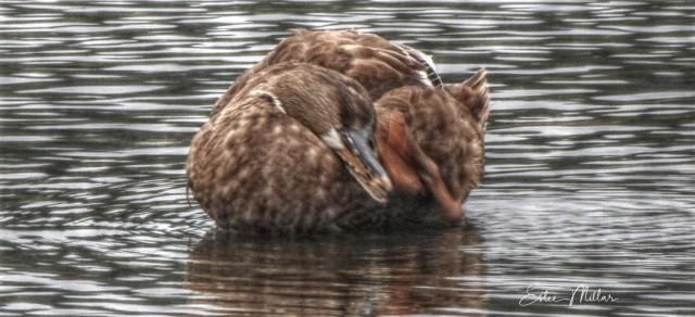 rare duck 3-1