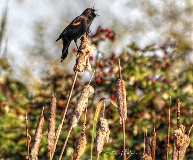blackbird 2-1