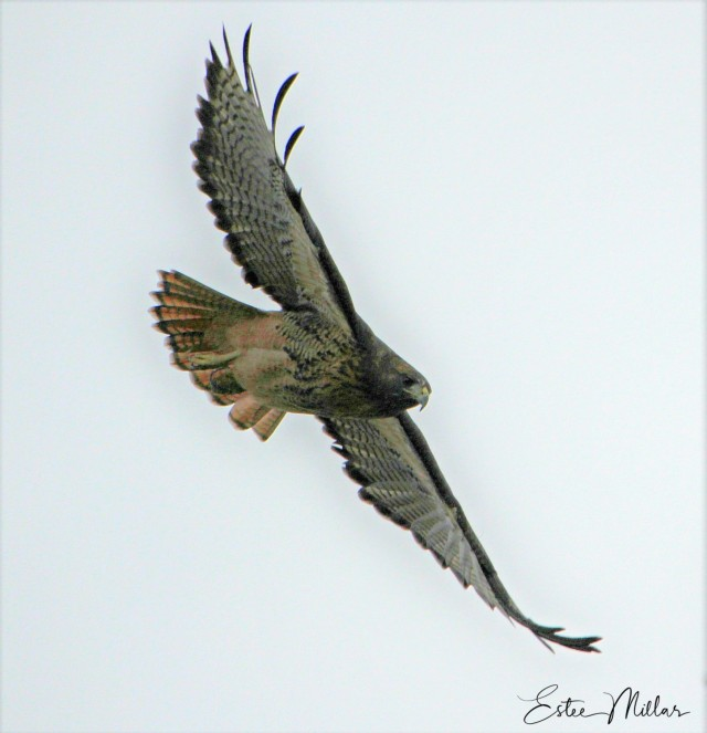 morning hawk-1.jpg