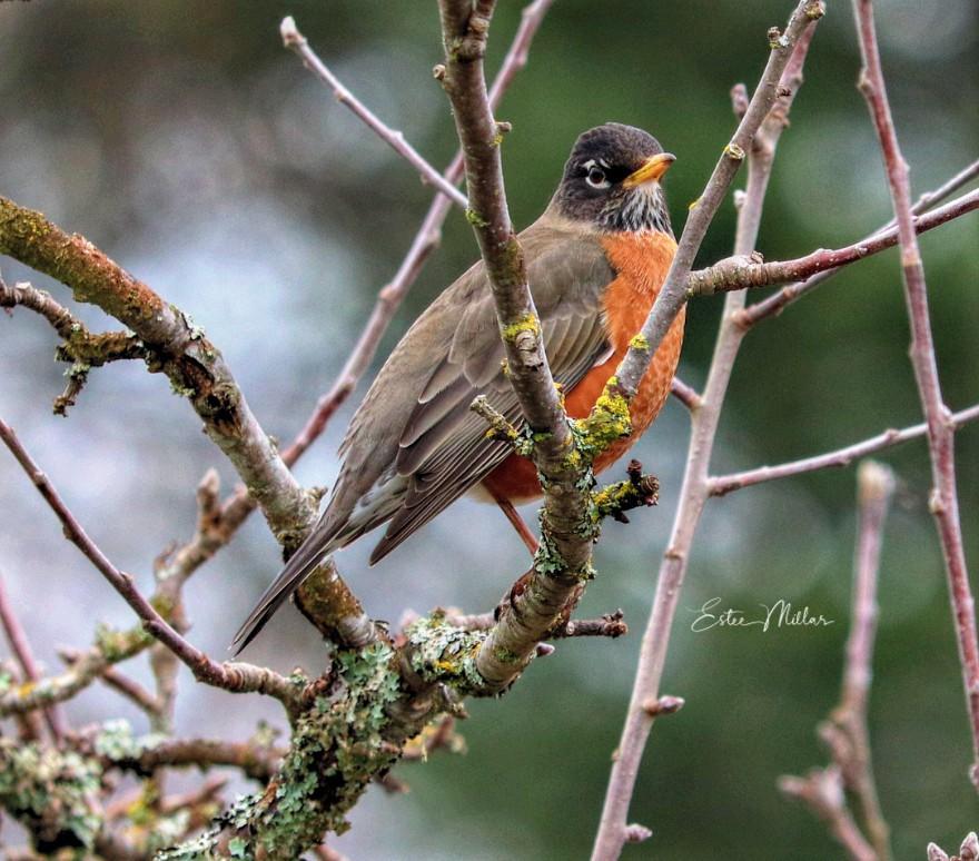 Robin and springtime-1