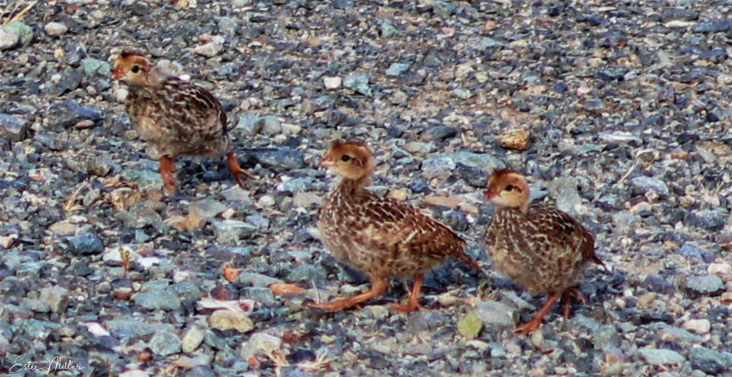 baby quail1-1